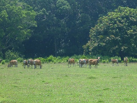 Wild-Cows-at-Cidaon